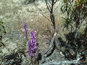 Orquidia silvestre