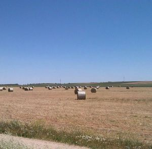 Campo de alpacas