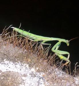 Mantis Religiosa (Foto de Patricia Robles)