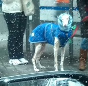 Dandy Canino